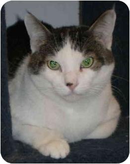 Domestic Mediumhair Cat for adoption in Yorba Linda, California - Sammy