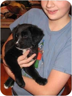 Border Collie/Labrador Retriever Mix Puppy for adoption in Naperville, Illinois - Scout IS ADOPTED
