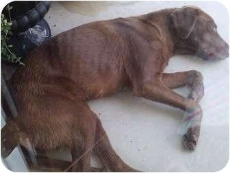Labrador Retriever Dog for adoption in Rochester, New Hampshire - Caramel