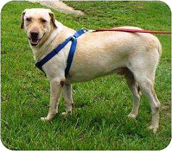 Labrador Retriever Mix Dog for adoption in Graceville, Florida - Riley II