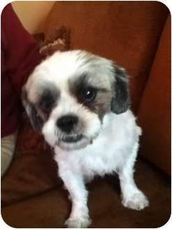 Shih Tzu/Cavalier King Charles Spaniel Mix Dog for adoption in Detroit, Michigan - Lucky -Foster me!