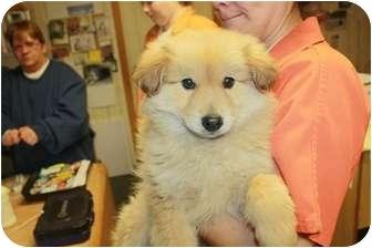 Sheltie, Shetland Sheepdog/Golden Retriever Mix Puppy for adoption in Naperville, Illinois - Winnie