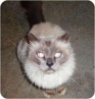 Himalayan Cat for adoption in Lincolnton, North Carolina - Vinny
