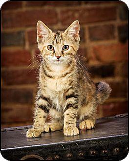 American Shorthair Kitten for adoption in Owensboro, Kentucky - Minnie