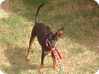 Miniature Pinscher/Rat Terrier Mix Puppy for adoption in Clarksville, Tennessee - Lantz