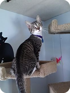Domestic Shorthair Kitten for adoption in Brownsville, Texas - Putter