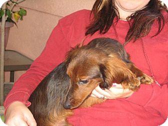 Dachshund Dog for adoption in Westport, Connecticut - Jager