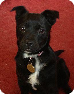 Terrier (Unknown Type, Medium) Mix Puppy for adoption in Richmond, Virginia - Nate