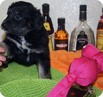 Border Collie Mix Puppy for adoption in Marietta, Georgia - Amaretto