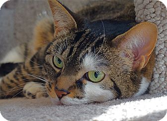 American Shorthair Cat for adoption in Victor, New York - Grace