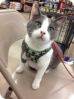 Domestic Shorthair Cat for adoption in Warren, Michigan - Zeke