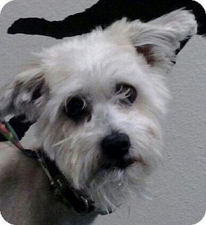 Poodle (Miniature)/Chinese Crested Mix Dog for adoption in Reno, Nevada - Taun Taun