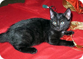 Domestic Shorthair Kitten for adoption in Marseilles, Illinois - Karl
