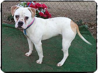 English Bulldog Mix Dog for adoption in Marietta, Georgia - ANGIE-see video