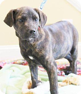 Labrador Retriever Mix Puppy for adoption in Chapel Hill, North Carolina - Bonita