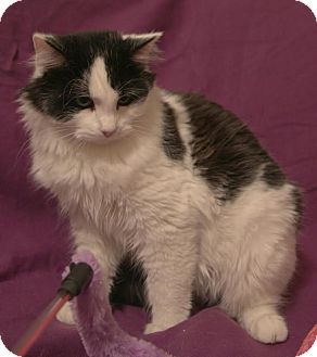 Domestic Longhair Cat for adoption in Hagerstown, Maryland - Marcus