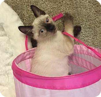 Siamese Kitten for adoption in Davis, California - George