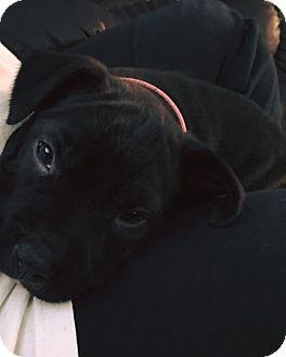 Cane Corso/Labrador Retriever Mix Puppy for adoption in Ashville, Ohio - Kande (Candy)