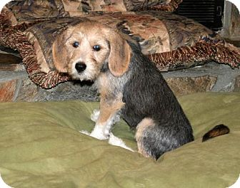Dachshund/Beagle Mix Puppy for adoption in Green Cove Springs, Florida - Greg