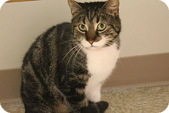 Domestic Shorthair Cat for adoption in Medina, Ohio - Hildie