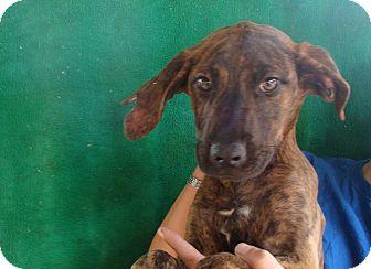 Plott Hound/Boxer Mix Puppy for adoption in Oviedo, Florida - Nola