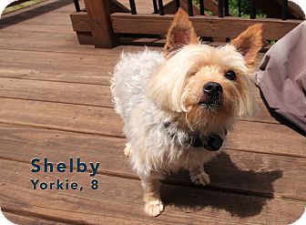 Yorkie, Yorkshire Terrier Mix Dog for adoption in Florence, Kentucky - Shelby