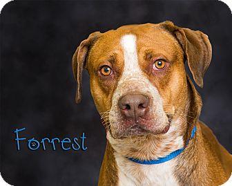Pit Bull Terrier/Labrador Retriever Mix Dog for adoption in Somerset, Pennsylvania - Forrest