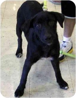 Labrador Retriever/Australian Shepherd Mix Dog for adoption in Overland Park, Kansas - Lucy