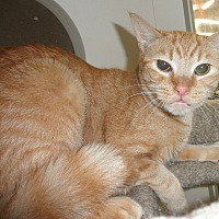 Domestic Shorthair Cat for adoption in Highland Park, New Jersey - Lightfoot
