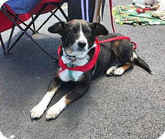 Beagle/Border Collie Mix Dog for adoption in Columbus, Ohio - Sophie