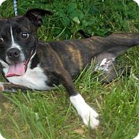 Boston Terrier Mix Dog for adoption in Allentown, New Jersey - Neville