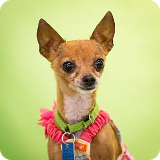 Chihuahua Mix Dog for adoption in Houston, Texas - Lil