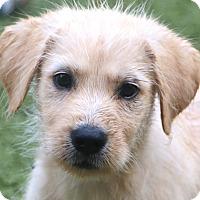 Adopt A Pet :: Hoover - Woonsocket, RI