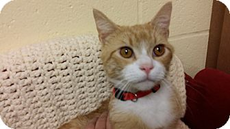 Domestic Shorthair Cat for adoption in Berlin, Connecticut - Spruce