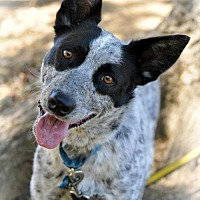 Adopt A Pet :: Breezy - Milpitas, CA