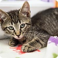Adopt A Pet :: Londo - Stafford, VA