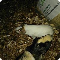 Guinea Pig for adoption in Miami Shores, Florida - Guinea Pig 3