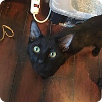 Adopt A Pet :: Kitten - Blackie (2) - Napa, CA