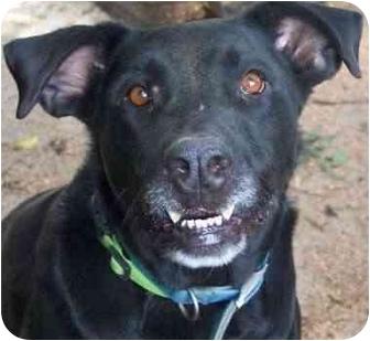Labrador Retriever Mix Dog for adoption in Haverhill, Massachusetts - Phyllis