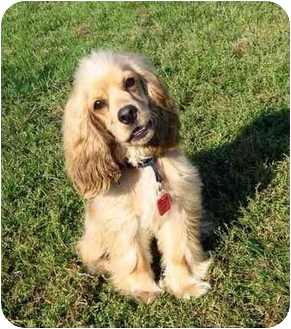 Cocker Spaniel Puppy for adoption in Ile-Perrot, Quebec - Denver