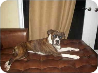 Boxer Dog for adoption in Pembroke pInes, Florida - Brenda