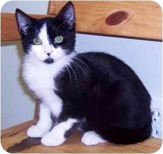 Domestic Shorthair Kitten for adoption in Oklahoma City, Oklahoma - Daisy