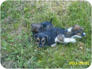 Beagle Mix Puppy for adoption in Paintsville, Kentucky - 3 Muskateers