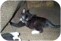 Domestic Shorthair Kitten for adoption in San Diego/North County, California - Andy