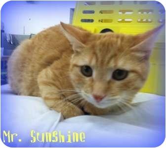 Domestic Shorthair Kitten for adoption in Orlando, Florida - Mr. Sunshine