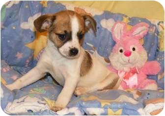 Chihuahua Mix Puppy for adoption in Oswego, Illinois - Salsa