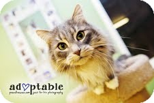 Domestic Mediumhair Cat for adoption in Okotoks, Alberta - Maverick