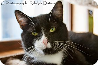 Domestic Shorthair Cat for adoption in Byron Center, Michigan - Bubba