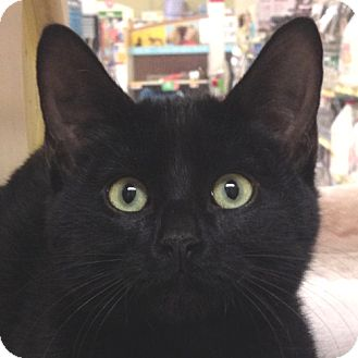Domestic Shorthair Kitten for adoption in Weatherford, Texas - Punkin