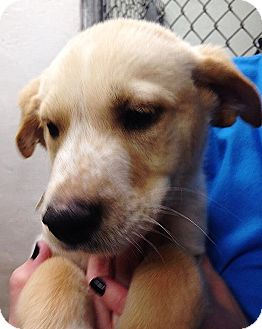 Golden Retriever Mix Puppy for adoption in Silsbee, Texas - Sleepy
